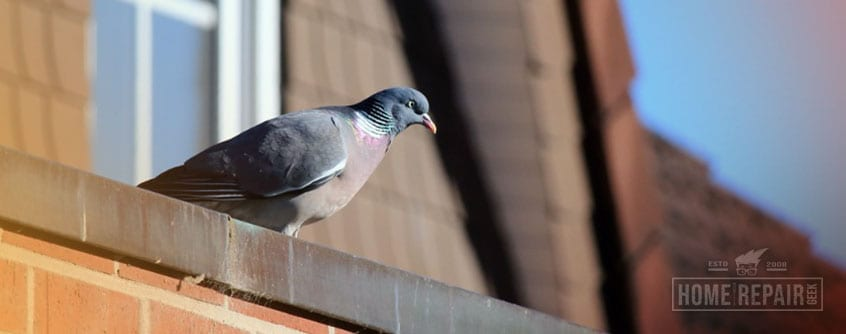 Pigeon sitting edge of house