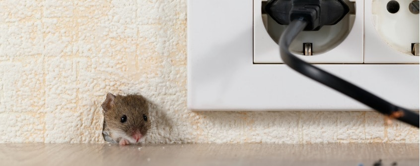 dead mouse in wall