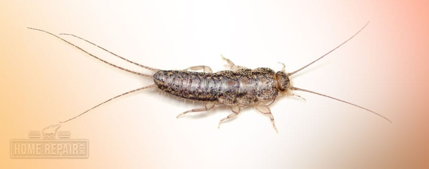 Get rid of silverfish