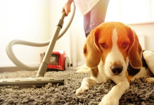 Vacuum up fleas